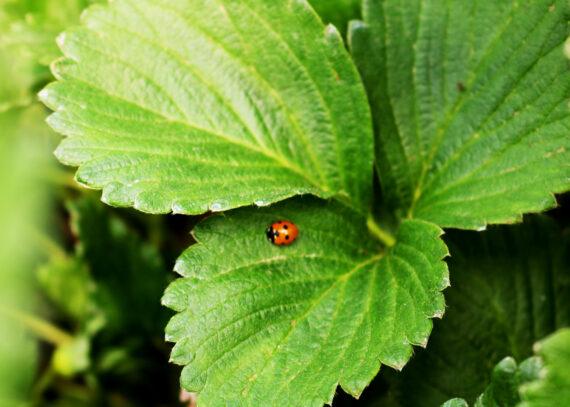 Alternativas de tratamiento en los cultivos de fresa y frambuesa | #FruitCare